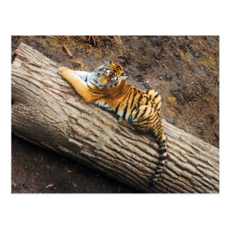 Tiger on a Log Photo Postcard