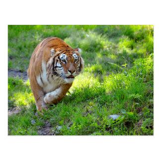 Tiger on grass postcard