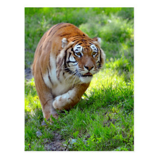 Tiger on grass post cards