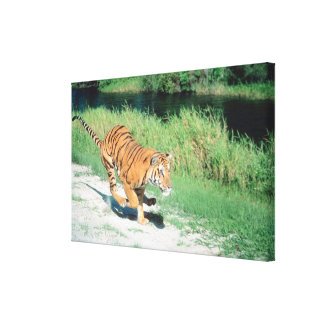 Tiger on path stretched canvas prints