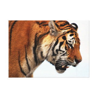 Tiger on the hunt poster stretched canvas print