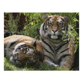Tiger Pair Couple Custom Personalize Anniversaries Poster