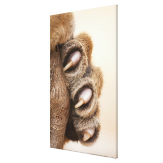 Tiger paw gallery wrapped canvas