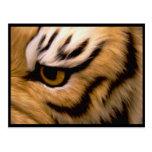 Tiger Photo Postcard