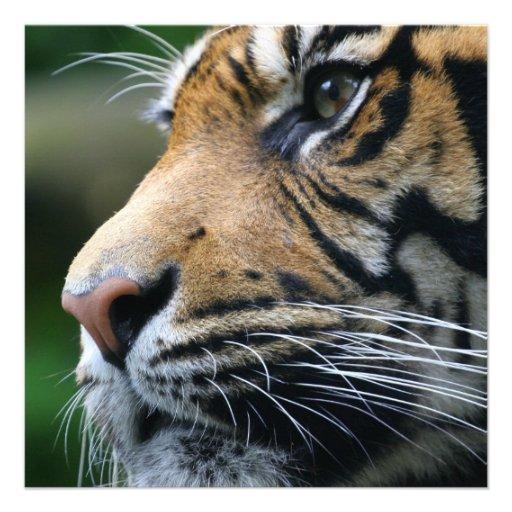 Tiger Picture Invitations