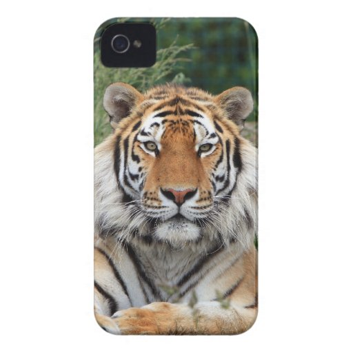 Tiger portrait beautiful close-up photo, gift Case-Mate blackberry case