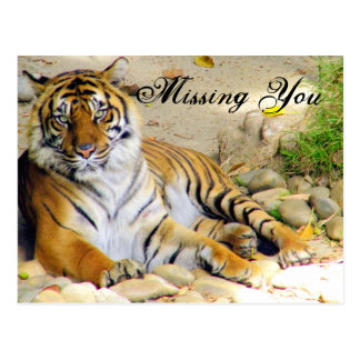 Tiger_ Post Cards