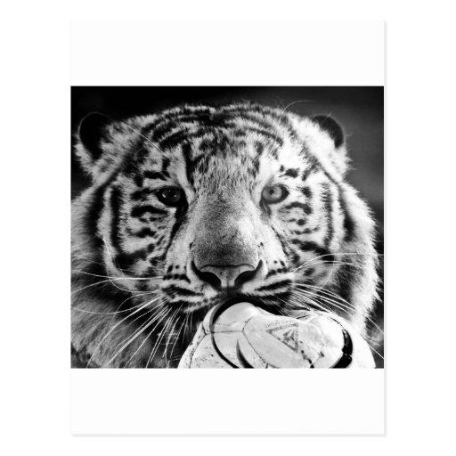 Tiger Post Cards