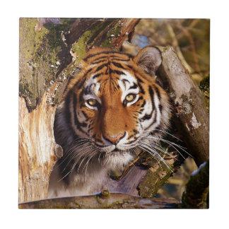 Tiger Predator Lurking Fur Beautiful Dangerous Ceramic Tile