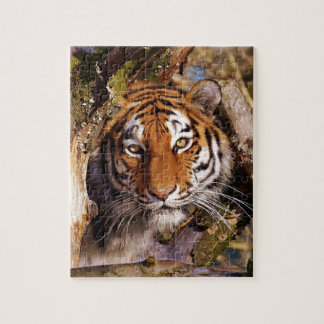 Tiger Predator Lurking Fur Beautiful Dangerous Jigsaw Puzzle