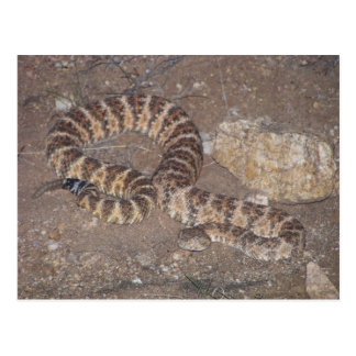 Tiger Rattlesnake Postcard