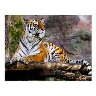 Tiger Relaxing Postcard