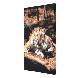 Tiger resting gallery wrap canvas