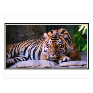 Tiger Sacramento Zoo Postcard
