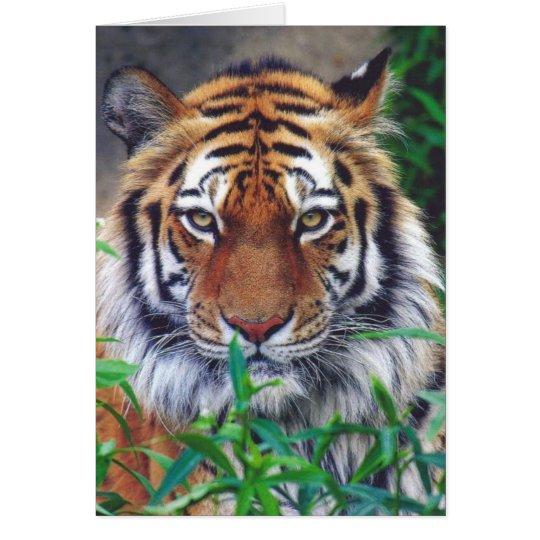 Tiger Stare Card