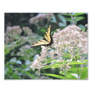 Tiger Swallowtail Butterfly Photographic Print