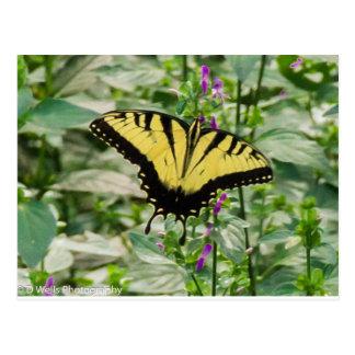 Tiger Swallowtail butterfly Postcard