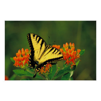 Tiger Swallowtail on Butterfly Weed Poster