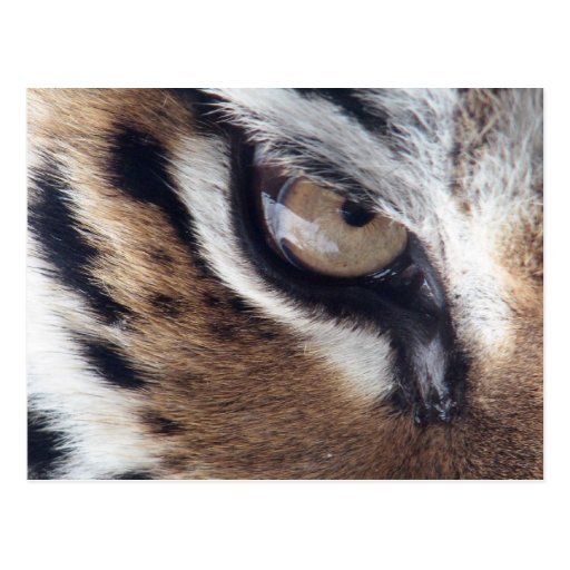 tigers eye post cards