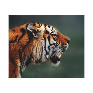 Tigers fangs stretched canvas print