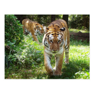 Tigers on the Prowl Postcard