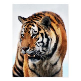 Tigers wild life postcard