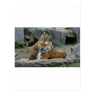 Tigress and playful tiger cub 1 post cards