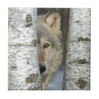 tile with photo of gray wolf in some birch trees