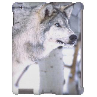 Timber Wolf, Canis lupus, Movie Animal Utah)