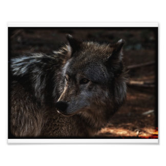 Timber Wolf Photo Print