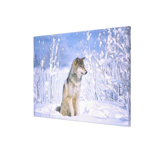 Timber Wolf sitting in the Snow, Canis lupus, Stretched Canvas Prints