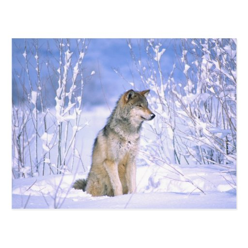 Timber Wolf sitting in the Snow, Canis lupus, Postcards