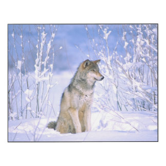 Timber Wolf sitting in the Snow, Canis lupus