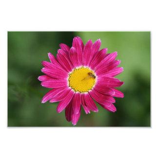 Tiny Bee on Painted Daisy Photo
