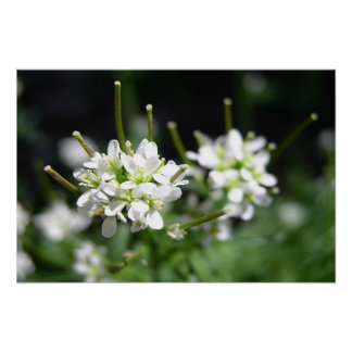 Tiny White Flowers Poster