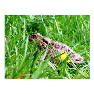 Toad in the grass postcard
