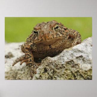 Toad On A Boulder Poster