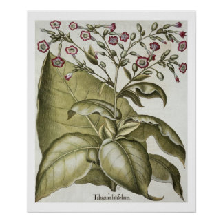 Tobacco plant, from the 'Hortus Eystettensis' by B Poster