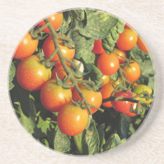 Tomato plants growing in the garden coaster