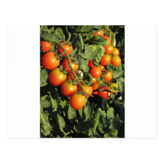 Tomato plants growing in the garden postcard