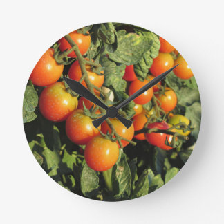 Tomato plants growing in the garden round clock