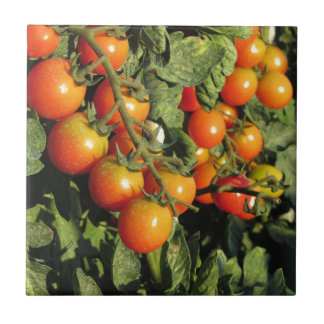 Tomato plants growing in the garden tile