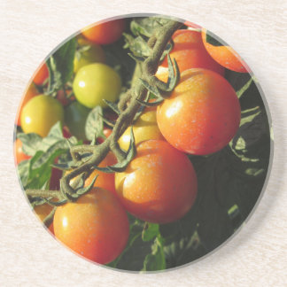 Tomato plants growing in the garden . Tuscany Coaster