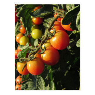 Tomato plants growing in the garden . Tuscany Postcard