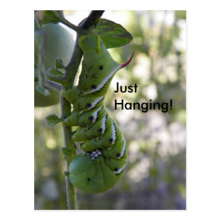 tomato worm  / Caterpillar Postcard