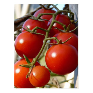 Tomatoes Postcard