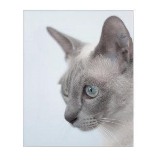 Tonkinese Cat Acrylic Print