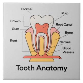 Tooth Anatomy Chart Ceramic Tile