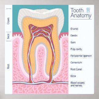 Tooth Anatomy illustration Poster