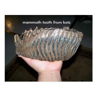 tooth, mammoth tooth from kotz postcard